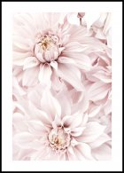 Blooming Pink Dahlias Poster