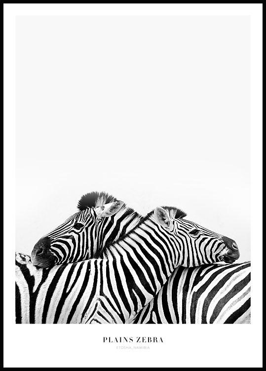 Plains Zebra Poster